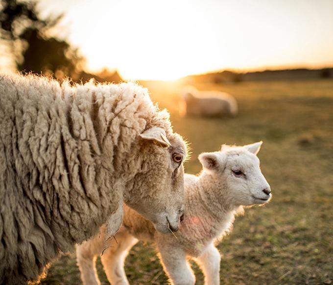 nhau thai cừu Age No More
